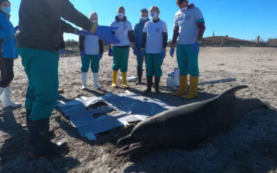 Delfino spiaggiato a Sottomarina (VE)